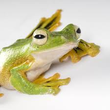 wallace u0027s flying frog national geographic