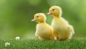 3 duckling 10 u0027harmless u0027 things you should really wash your