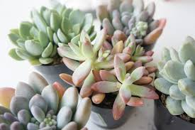 succelents valentine succulents gin u0026 jewels