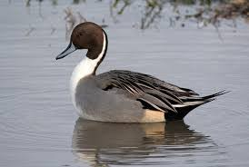 ornamental waterfowl for sale for sale in lancashire west