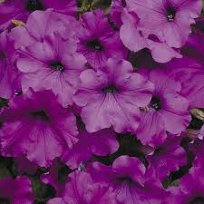 Dry Basement Wave Easy Wave Violet Hybrid Petunia Seeds From Park Seed