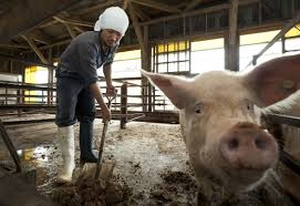 farming uk pig news pig health welfare
