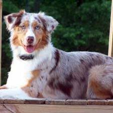 australian shepherd fun facts facts about the miniature australian shepherd dog breed