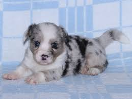 4 week old australian shepherd z irexu welsh corgi cardigan kennel