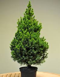 pot grown table top tree trees delivered