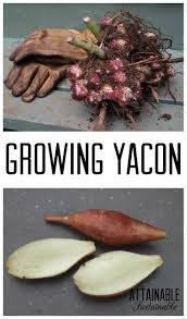 Growing Your Own Vegetable Garden by Growing Yacon Plant It And Forget It Until Harvest Time