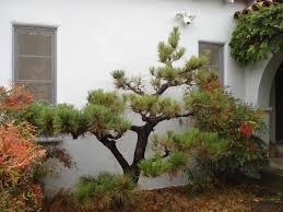japanese black pine trees in the garden with japanese ornament