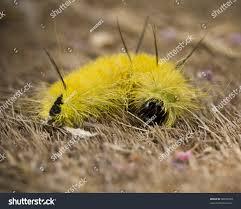 american dagger moth caterpillar eats maple stock photo 58016590