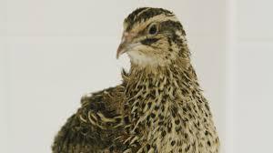 quick brown fox can u0027t find camouflaged quail eggs npr