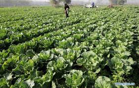 cabbage china cabbage price plummets in e china s daily online