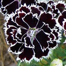dianthus flower dianthus seeds dianthus heddewigii black white flower seed