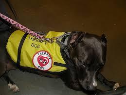 american pitbull terrier akc 96 best american pit bull terrier images on pinterest american