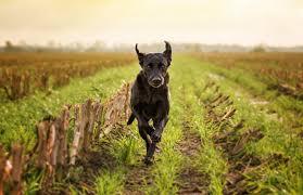 affenpinscher lab mix labrador retriever dog breed information pictures