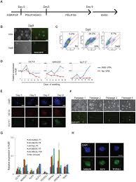 epigenetic resetting of human pluripotency development