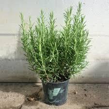 erba cipollina in vaso rosmarino coltivazione orto sul balcone coltivare piante