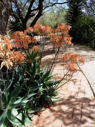 plants for rock gardens aloe striata flowers jpg