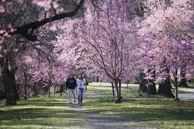 slowed spring essex county cherry blossom festival arrives