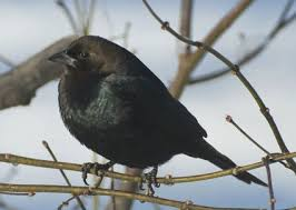 brown headed cowbird identification birds cornell