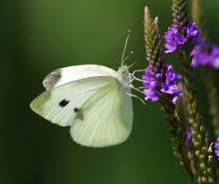 cabbage white butterfly species keeping insects