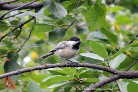 attracting chickadees backyard birding feeding wild bird co