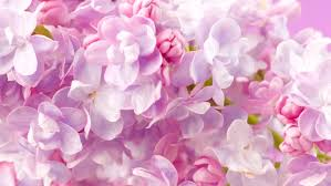 lilac flowers lilac colored stock footage