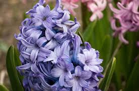 Hyacinth Flower Free Photo Blue Flower Flowers Violet Spring Hyacinth Close Max
