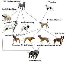 american pit bull terrier breed standard leps showdown kennelz american pitbull terrier puppies for sale