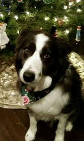 341 best we are talking border collies images on pinterest