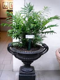 Tall Indoor Plants Low Light Tall Indoor Plants Low Light