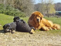 lion tibetan mastiff vs saint bernard zoo aww aww tibetan mastiff