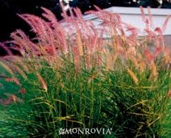 23 best drought tolerant ornamental grass images on