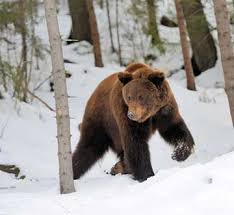 Bears Montana Hunting And Fishing - despite recent snow bears are still active hunters must be bear