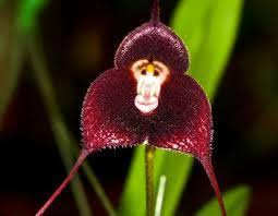 monkey orchid monkey orchids duck orchids and orchids on ebay