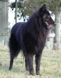 belgian sheepdog groenendael breeder 12 best images about belgian tervuren and shepherd breeding on
