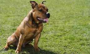 american pitbull terrier types why is the pitbull lab mix aka labrabull such a great dog