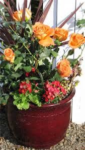 rose growing u0026 care u0027how to u0027 articles grow roses in containers