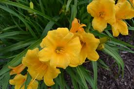stella daylily stella de oro daylily is a popular perennial commonly used