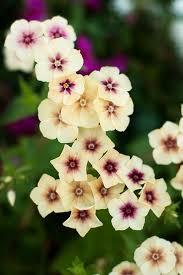phlox flower flowers phlox