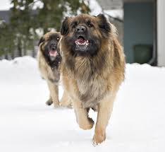 belgian sheepdog size and weight leonberger dog breed information pictures characteristics