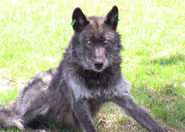 belgian sheepdog oregon oregon u0027s legendary wolf killed takepart
