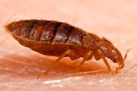 Bed Bugs In Mattress Easy Diy How To Get Rid Of Bed Bugs In A Mattress