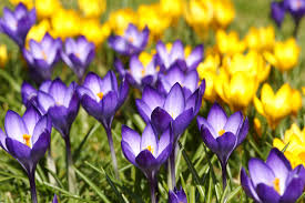 bulbs go formal or natural in the garden wiegand u0027s