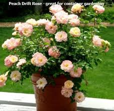 Peach Roses Drift Rose