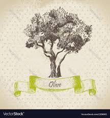 olive tree hand drawn royalty free vector image