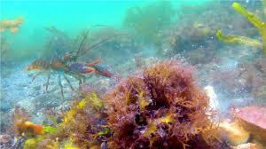 crabs u0026 lobster on the ocean floor gopro under water animals sea