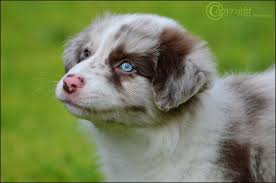 australian shepherd overbite more than words by u003dcandid heartbeat on deviantart border collie