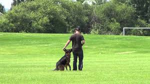 German Shepherd Blindness German Shepherd Blind Search Bark And Hold Dog Training Demo
