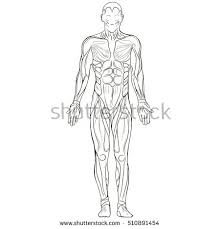 Anatomy Of Human Body Sketches Muscular System Stock Images Royalty Free Images U0026 Vectors