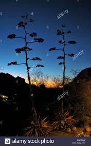 silhouette of desert flower against sunset sky big bend national