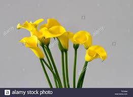 yellow calla bouquet of yellow calla lilies zantedeschia stock photo 89283592
